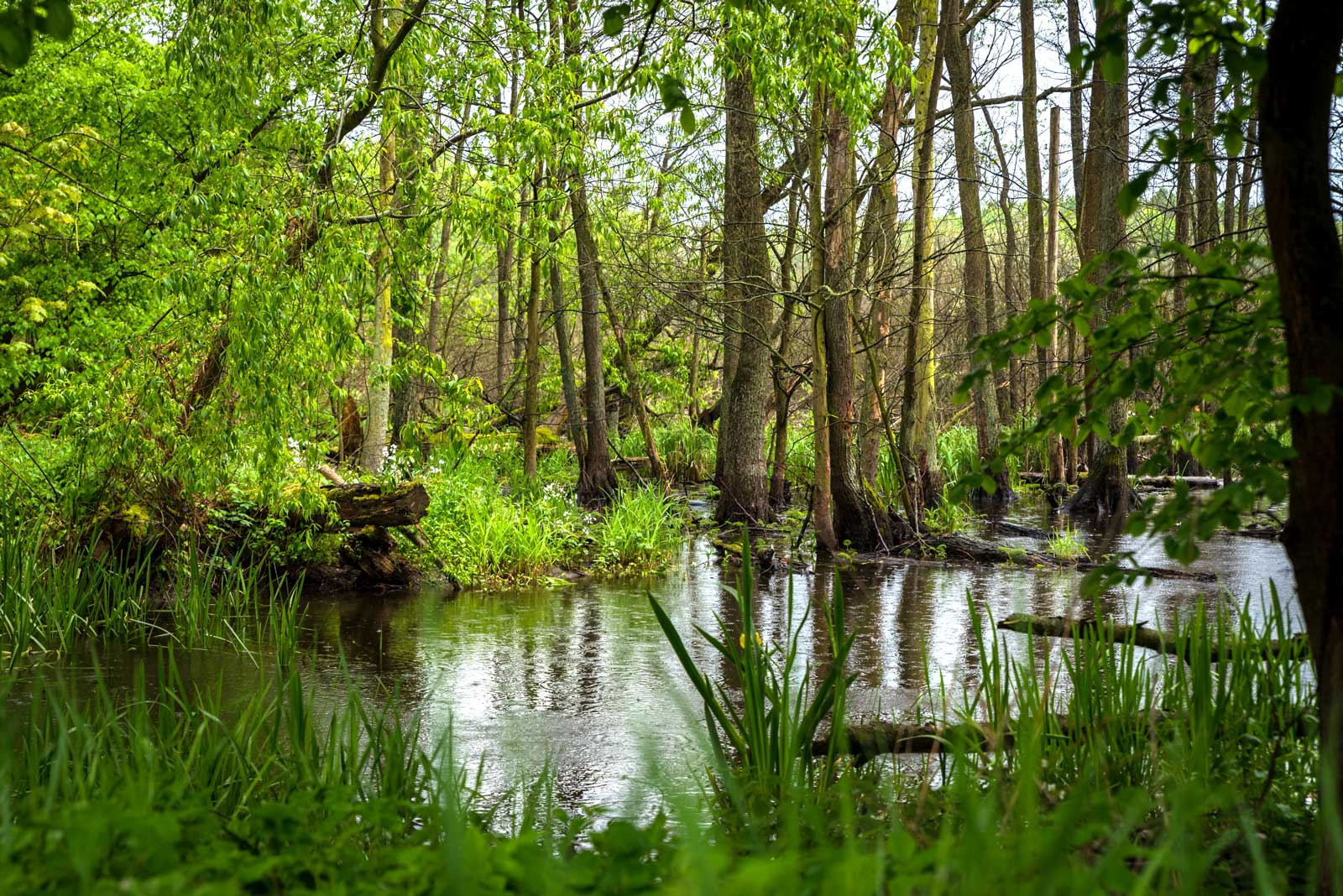 Zdjęcie współczesne. Widok na dziki, zalany przez jezioro leśny teren. Fotografię wykonano z żabiej perspektywy. Na pierwszym planie widać intensywnie zieloną trawę na brzegu, następnie widać wąski pas jeziora, który wciął się w brzeg. W jeziorze zanurzone są pnie drzew, które wpadły do wody. Na drugim brzegu znajdują się wywrócone konary drzew oraz drzewa stojące. Wszystkie drzewa są liściaste i intensywnie zielone.